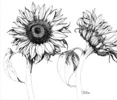 sunflower botanical drawing - Google Search