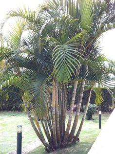 Palmeira-de-jardim ou Areca-bambu (Dypsis lutescens)