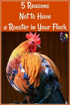 Having a rooster in your flock can be fun, and good for the hens. But there can also be problems. Find out what the top 5 issues are, here. Raising Meat Chickens, Raising Backyard Chickens, Pet Chickens, Rabbits, Farm Animals, Animals And Pets, Chicken Treats, Animal Tracks, Hobby Farms