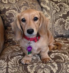 Quality longhair cream dachshunds and puppies Dachshund Puppies, Dachshund Love, Dachshunds, Doggies, Dogs And Puppies, English Cream Dachshund, Long Haired Miniature Dachshund, Sausage Dogs, Cute Funny Animals