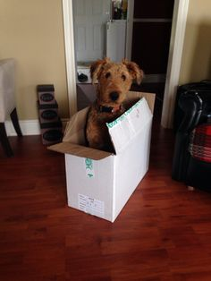 Airedale in the box!