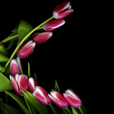 CURVELICIOUS...  Duo-toned tulips... by Magda indigo on 500px