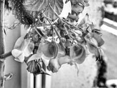 Angel Wing Begonia in Black and White royalty free stock photo
