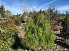 Pinus pseudostrobus apulcensis