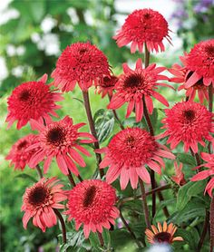 "Echinacea, 'Raspberry Truffle'.  4–5"" flowerheads. Lush 30"" plants produce a flurry of firm blooms—landing pads for friendly birds and insects passing by.    Zone: 3-8   Sun: Full Sun, Part Sun   Height: 30  inches  Spread: 30-36  inches  Uses: Borders, Container, Cut Flowers   Bloom Season: Summer"