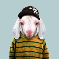 Domestic Goat Kid - Capra Aegagrus Hircus