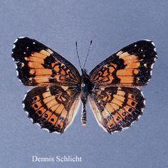 Chlosyne nycteis (Dennis Schlicht)