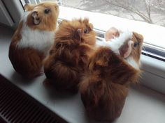 Guinea Pigs - peeping out the window to check on the squirrels.
