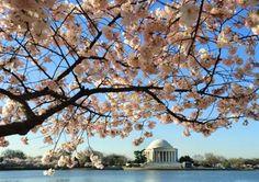 Cherry Blossom Festival, Washington DC