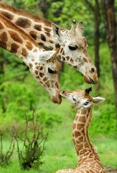 Giraffes loving their baby.
