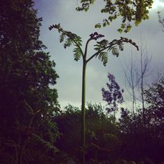 The fern's great uncurl across a windswept sky while on the horizon day's fading light goes by.  #fern #flower #spring #curl #foliage #leaf #sky #clouds #light #trees #spring #summer weather #beautiful #fresh #bucolic #pastoral #wild #nature #live #love #moody #romance #jungle #silhouette