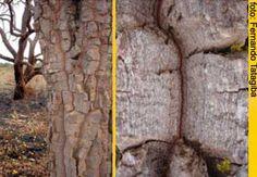 madeira da Cagaita - Detalhes da casca espessa da cagaita e seus frutos caídos no chão