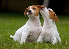 Jack Russell Terrier Puppies | Jack_Russell_Terrier_Puppies.jpg