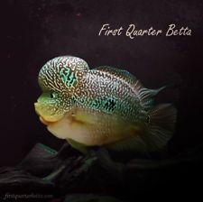 Hundreds of beautiful flowerhorn strains for Aquarists Tropical Aquarium, Tropical Fish, Aquarium Fish, Pez Flower, Discus Fish, Fish Fry, Angel Fish, Beautiful Fish, Cichlids