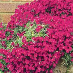 aubretia | Aubretia 'Red Cascade' vaso 10
