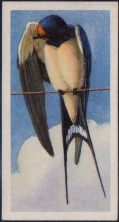 Brooke-Bond-Bird-Portraits-No-Address-19-Swallow