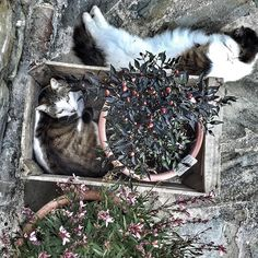 I found these two just chillin' in a crate with a pepper plant...#morningslikethese #farmcats