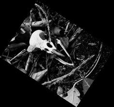 Crow skull Crow Skull, Skyrim