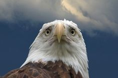 <b>There's a reason eagles, falcons, and hawks are almost always photographed in profile.</b>
