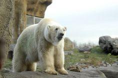 ijsbeer Eric 5 feb 2015 overleden Vader van Vicks en ijsberen tweeling. 21 jaar oud geworden
