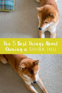 The Best Things About Owning a Shiba Inu  / hellorigby dog and lifestyle blog