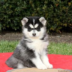 Pomsky puppies for sale! These energetic, fluffy, and lovable Pomsky puppies are a cross between the wolf-like Siberian Husky and Pomeranian dog breeds. Pomeranian Mix Puppies, Puppies Near Me, Pomsky Dog, Pomeranian Puppy For Sale, Free Puppies, Baby Puppies, Dogs And Puppies, Pomeranians, Cute Small Dogs