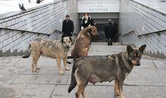 Rusya'da olimpiyat öncesi 2 bin sokak köpeği itlaf edilecek - HABER EFOR : Samsun Haber Sitesi-Sondakika Haberler
