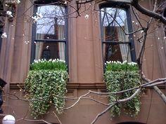 westvillage-newyorkcity-tulips-ivy-windowbox-brownstone. Lindas jardinera.