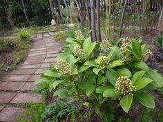 常緑低木 スキミア