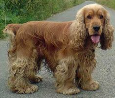 My golden Cocker Spaniel from Nursey Road, Montrose was playing in the garden with another dog. I only realised Barley was missing at 3.00pm 27/11/16 and he has still not returned. He has no collar on but he is microchipped. Please contact Stephen: 07944671005. If you have any info please let us know! Thank you.