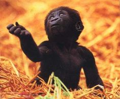 very cute baby animal pictures - Bing Images Baby Wild Animals, Baby Animals Pictures, Cute Baby Animals, Animals And Pets, Funny Animals, Animal Babies, Primates, Baby Gorillas, Very Cute Baby