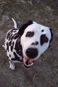 dalmatian..look how happy..this dog is!! Great Pic!