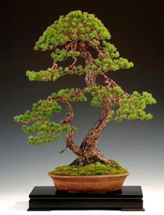 Bonsai 盆栽   ... perfectly formed pine tree ...