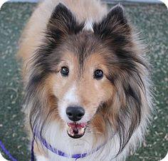 Nv sheltie shetland sheepdog meet lisette a dog for adoption