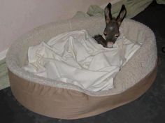 baby donkey in a bed! how cute! Baby Donkey, Cute Donkey, Mini Donkey, Baby Cows, Baby Elephants, Cute Baby Animals, Animals And Pets, Funny Animals, Wild Animals