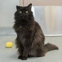 Palm Springs Animal Shelter, Palm Springs, California - Domestic Longhair. Meet Tinker ID#23787231 a senior male cat for adoption. https://www.adoptapet.com/pet/17281370-palm-springs-california-cat