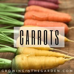 Wondering what the best soil for raised bed vegetable gardening is? You've come to the right place, a successful raised bed garden starts with the soil. Tips For Growing Tomatoes, Growing Onions, Growing Carrots, Basil Growing, Growing Cabbage, Grow Tomatoes, Growing Veggies, Grow Potatoes In Container