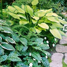 Unsere 18 Lieblingsstauden, die in schattigen Gärten gedeihen Hostas are among the showiest and easiest-to-grow shade perennials. They also offer the most variety of any perennial plants for shade. Choose from miniatures that stay only a couple inches wid Flowering Shade Plants, Shade Garden Plants, Plants For Dry Shade, Shaded Garden, Dry Plants, House Plants, Best Perennials For Shade, Flowers Perennials, Long Blooming Perennials