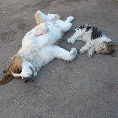 Tranqui la siesta de las bebitas de la casa ♥ Alim & Fusün #sanbernardo #foxterrier #instadog #dogstargram #instalove #bebitas