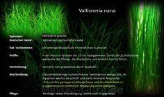 Vallisneria nana in Australien beheimatet, ist eine Möglichkeit auch für Malawisee Aquarien.Mit ihren Mbunas und Nonmbunas sind diese Becken aber im Prinzip pflanzenfrei.Mehr dazu im Pflanzen Verzeichnis.