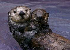 Toola, sea otter fostermom to 13 pups at the Monterey Bay Aquarium, died Saturday.  She was a good momma.