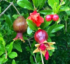 Over at Julie's: Backyard Beauties . . . Our Wonderful pomegranate in all four stages.  left- Baby Pom, center- orange blossom, right- tight buds, center front- a mature blossoms,with fruit forming.