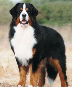 Yaklaşık 8 yıl yaşayabilen Bernese dağ köpeği, İsviçre'deki Swiss dağlarından köken almıştır. 18. Yüzyıla dair çizimlerde Bernese dağ köpeğinin resimlerine rastlanılmaktadır. Marketlerde araba çekici köpek olarak kullanılırken çiftliklerde çiftçilere arkadaş köpek olarak kullanıldı. İsviçre'de 19. Yüzyılın sonuna doğru diğer çalışan köpeklere oranla daha çok tercih edildi ve ithal edilmeye başlandı. Bugün ise yarışmalarda ve evlerde eğlence, zevk köpeği olarak kullanılmaktadır.