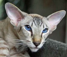 How could you not love this face? Such a cutie! I Love Cats, Crazy Cats, Cool Cats, Pretty Cats, Beautiful Cats, Devon Rex, Kittens Cutest, Cats And Kittens, Oriental Cat Breeds