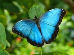 La increíble mariposa morpho menelaus azul. Parque Nacional Cotapata (Bolivia). The amazing butterfly morpho menelaus blue. Cotapata National Park (Bolivia).