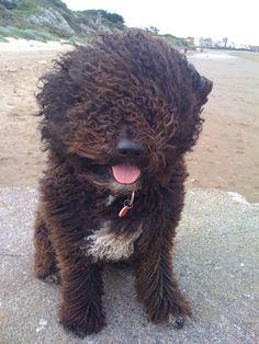 Spanish water dog :)