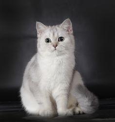 Fluffy cats` Ingella female BRI as 25. 7 months