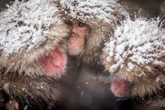 Snow Monkey Photo by Rick Elieson — National Geographic Your Shot