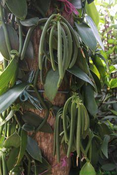 http://plant.daleysfruit.com.au/trees/m/Vanilla-Vine-237.jpeg
