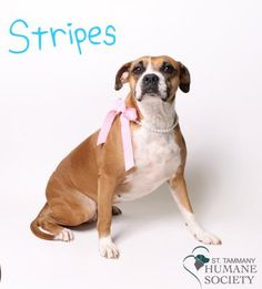 Stripes and her sister Copper are looking for their fur-ever home. They were rescued by a good Samaritan who found them in a bad situation and came to us to find a new family to love. They were adopted out together and recently returned because they were not welcomed by their mom's new landlord. Help us find these beautiful two girls a new home! Stripes and Copper love children but not other animals, so they need to find a home where they are the only pets.